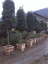 فروش یاس هلندی ، تولید یاس هلندی گل و گیاه شمال