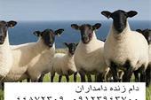 گوسفند زنده (دام زنده دامداران)