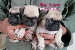 فروش توله پاگ - فروش سگ پاگ tule pug 09123609467