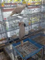 فروش تمامی پرندگان زینتی
