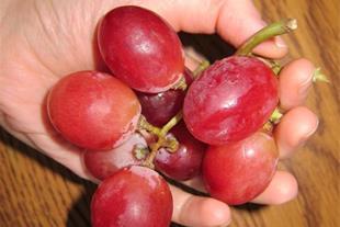 فروش نهال انگور ردگلوب