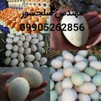 فروش تخم نطفه دار بوقلمون،غاز،اردک،مرغ گوشتی وبومی
