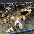 فروش گوساله اصیل سمینتال و دورگ در سراسر کشور