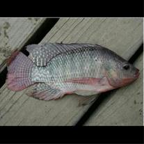 فروش ویژه بچه ماهی تیلا پیا تک جنس
