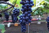 فروش ارقام مختلف نهال انگور خارجی خاص و کمیاب