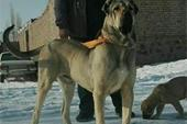 سگ افغان