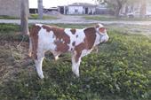 فروش ویژه گوساله سیمینتال