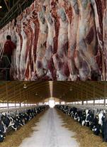خرید و فروش دام زنده و گوشت گوساله