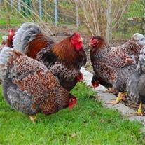 فروش مرغ بومی نژاد گلپایگان - جهادی و مرندی
