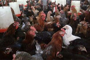 فروش جوجه مرغ بومی محلی و اصلاح شده
