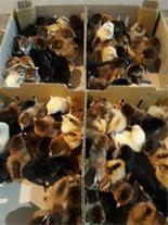 فروش جوجه مرغ بومی یکروزه-طیور