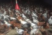 فروش مرغ بومی طرح ویژه دیجی طیور