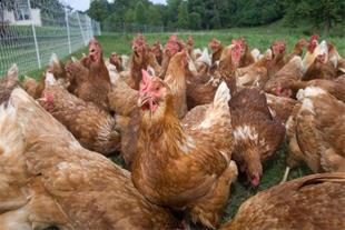فروش جوجه مرغ اماده به تخم بهترین نژاد