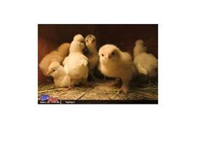 فروش جوجه و اماده به تخم گذاری وپولت مرغ بومی