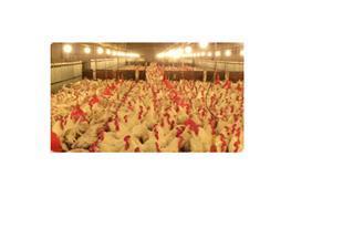 فروش مرغ هایلاین و ال اس ال