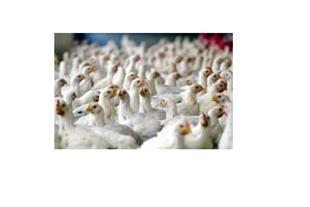 فروش مرغ گوشتی راس و کاپ
