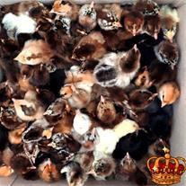 فروش جوجه مرغ یک روزه تُرک ازمیر ( آتاکس )