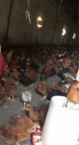 فروش مرغ 3 ماهه بومی و دورگ