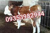فروش گاو زنده - گاو گوشتی سمینتال گوساله پرواری