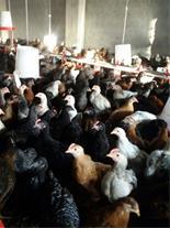 آموزش پرورش فروش مرغ تخمگذار بومی (رویان طیور)