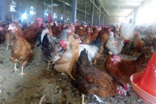 فروش مرغ بومی 1 روزه /نیمچه و اماده تخم گذاری