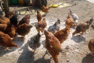 فروش مرغ محلی آماده تخمگذاری