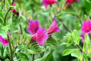 فروش گل گاوزبان