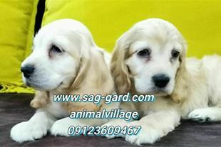 فروش سگ کوکر اسپانیل،فروش سگ ورزشی و شکاری