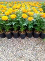 گل و گیاه محلات فروش عمده