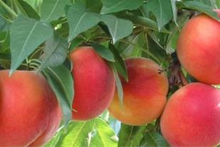 خرید درخت میوه هلوآلبرتا