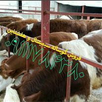 فروش گوساله هلشتاین ، فروش گاو زنده ، گاو و گوساله
