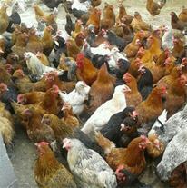 فروش مرغ 1 ماهه 2 ماهه و 3 ماهه بومی