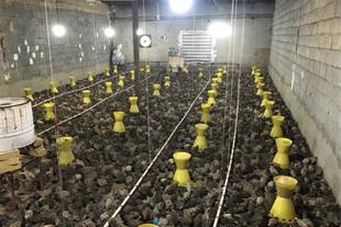 فروش بلدرچین تخمگذار وجوجه یک روزه