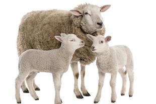 فروش گوسفند زنده شیپ سنتر
