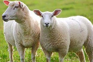 فروش گوسفند زنده