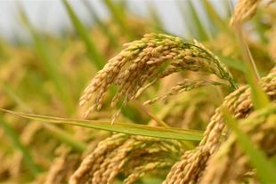 حق العملکاری شالی و برنج برای شما در نکا