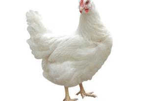 فروش جوجه مرغ گوشتی