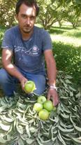 نهال سیب سبز گراندسمیت
