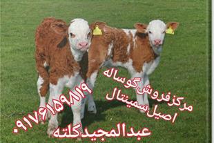 فروش انواع گاو و گوساله اصیل
