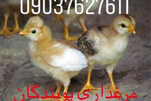 فروش جوجه و مرغ و خروس رسمی محلی
