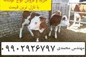 فروش گوساله سیمینتال و هلشتاین فروش گوساله پرواری