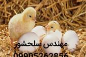 فروش جوجه و تخم نطفه دار مرغ گوشتی 09905262856