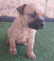 سگ پیت بول اصیل به شرطه بازدید از مولدها و توله