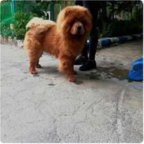 فروش سگ چاوچاو،چائوچائو