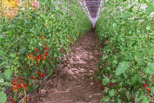 خرید و فروش گوجه گلخانه ای