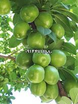 نهال گوجه سبز پفکی