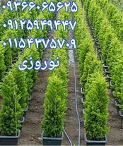 فروش گل و گیاه کاج لاوسون , کاج طلایی , کاج لافسون