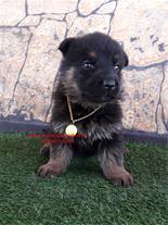 توله سگ ژرمن اصیل از مولدهای اصیل و عالی
