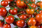 گوجه گلخانه ایی صادراتی