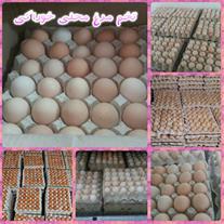 فروش و ارسال تخم مرغ بومی و رسمی تکزرده و دوزرده